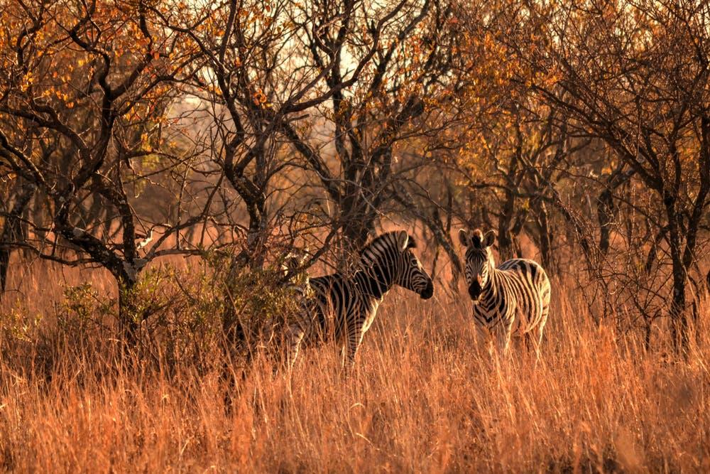 zebras on the grass field